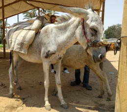 A donkey waiting by the competition's tent.