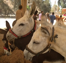 Donkeys nuzzle at the competition.